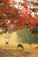 日本 奈良県 奈良公園の鹿と紅葉