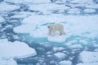 北極のシロクマ