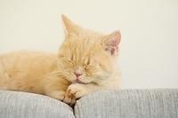 ソファの上にいるマンチカンの子猫