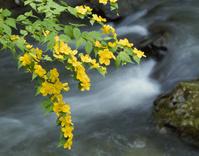 山吹と渓流