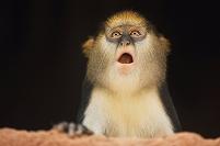 驚いた表情のモナモンキー