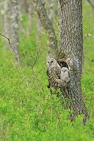 巣立ちを待つ巣穴の親子