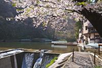 岩手県 猊鼻渓とお小夜の一本桜