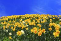 長野県 スイセンの花畑