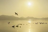 福島県 猪苗代湖のハクチョウ