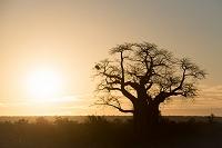 南アフリカ共和国 バオバブの木と朝日