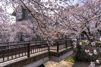 岐阜県 桜咲く美登鯉橋