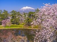 青森県 弘前公園 サクラと岩木山