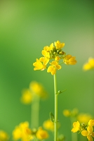 野の花 カラシナ