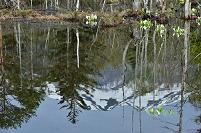 長野県 乗鞍高原 どじょう池より水芭蕉と水面の逆さ乗鞍岳