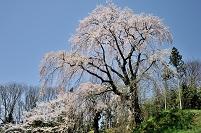 福島県 三春町 お城坂の枝垂れ桜
