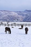 北海道 サラブレッドと雪
