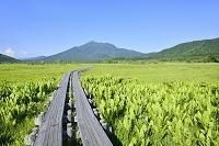 群馬県 中田代のヤマドリゼンマイ群落と燧ヶ岳