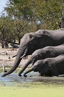 水を飲むゾウの親子