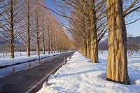 滋賀県 高島市 メタセコイア 並木道