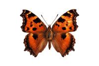 蝶 標本 ヒョウドシチョウ