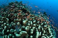 サンゴ礁に群れるアカネハナゴイ マレーシア