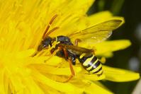 蜜を集めるキマダラハナバチの一種 蜂