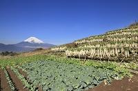 静岡県 富士山と畑と大根干し