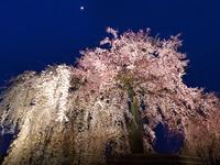 京都 円山公園の桜(祇園しだれ・祇園の夜桜)