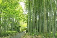 静岡県 修善寺温泉の竹林の小径の竹