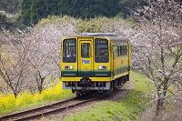 桜の花の間を走る列車