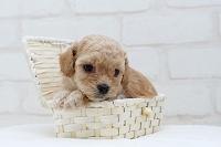 落ち着いたトイプードルの仔犬