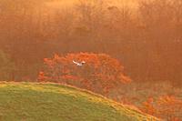 北海道 日の出に一羽のタンチョウ鶴
