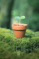 原生林の切り株に置かれたミニ植木鉢の新芽