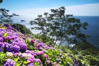 宮崎県 桃源郷岬のアジサイと日向灘