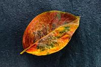 埼玉県 サクラの葉 紅葉