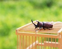 カブトムシと虫籠