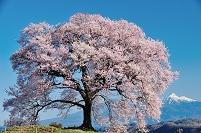 山梨県 韮崎市 ワニ塚の桜と残雪の八ヶ岳