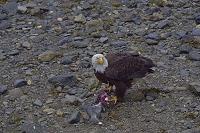 アメリカ アラスカ ジュノー シロザケを食べるハクトウワシ