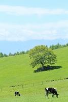 山梨県 八ヶ岳牧場 放牧の牛と新緑のヤマナシの木