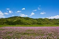 岐阜県 花 レンゲ畑と青空