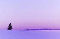 北海道 夕日に染まる雪の丘と一本の木