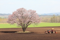 北海道 鶴居村 エゾヤマザクラとトラクター