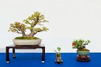 盆栽 ヤマモミジと草とボケ