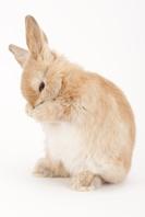 顔を触っているウサギ