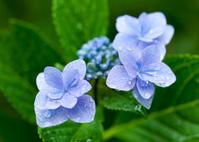 緑葉を背にした一輪の紫陽花