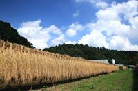 千葉県 イネの天日干し