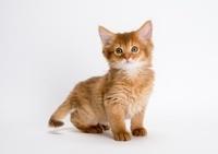 ソマリ 子猫