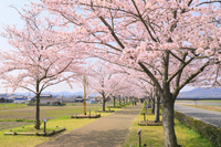 兵庫県 朝のおの桜づつみ回廊の桜並木
