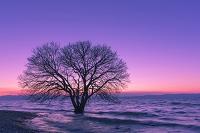 滋賀県 琵琶湖と一本の木と夕景