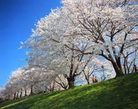 京都府 背割の桜