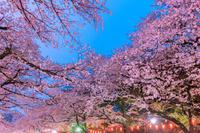 東京都 ライトアップ桜 上野公園
