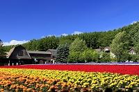 北海道 ファーム富田 マリーゴールドのお花畑