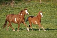 馬  ペイント・ホース種