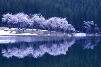 新潟県 中子の池の桜と森林
